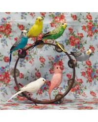 Perching Budgies - Assorted Colours